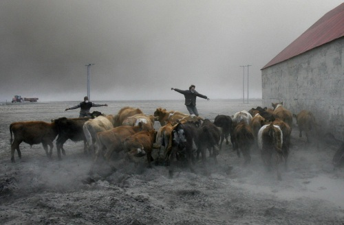 Farmers team up to rescue cattle from exposure to the toxic volcanic ash at a farm in Nupur, Iceland, as the volcano in southern Iceland's Eyjafjallajokull glacier sends ash into the air Saturday, April 17, 2010. (AP Photo/Brynjar Gauti)